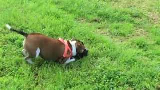 Apache, The Happy Staffordshire Bull Terrier Fun Playing With Louie (rottweiler X)  - Australia.