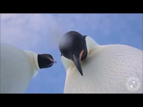 Viral Video Of Two Penguins Selfie Video in Antarctica