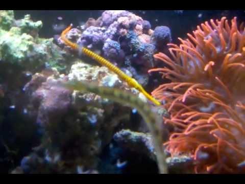 Yellow Multi-band Pipefish Eating Mysis