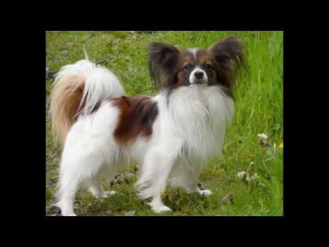 Тибетский Спаниель/Tibetan Spaniel (порода собак HD slide show)!