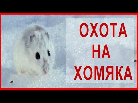 ☝▶ Хомяк. Зимняя ОХОТА на зайца)). Поймали хомяка в белой шубке ИЖ-12 Hare Hunting in Kazakhstan