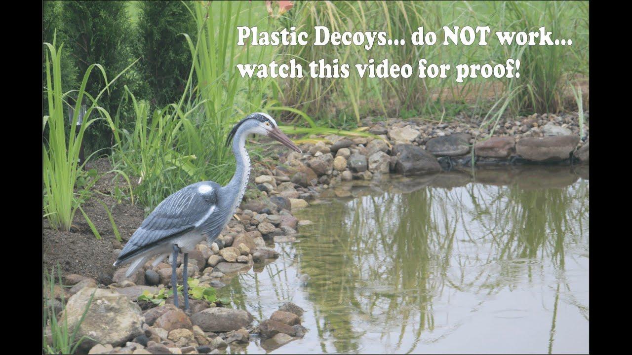 Real Heron Laughs At Plastic Heron As It Eats Pond Fish