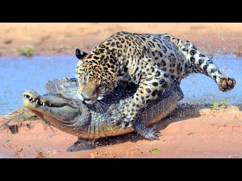 The Leopard Helps The Otter Escape From The Teeth Of The Crocodile