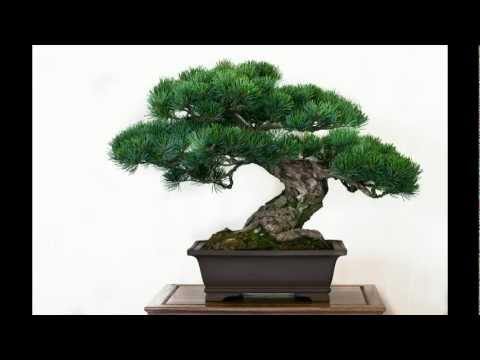 die besten 50 bonsai b ume. Black Bedroom Furniture Sets. Home Design Ideas