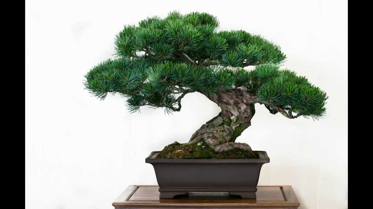 Die Besten 50 Bonsai Bäume Youtube