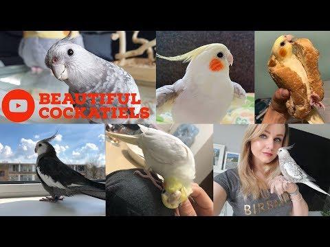 Cockatiels are the BEST | Beautiful Birds Edition | Happy Cockatiels | Cockatiel Funny Videos |
