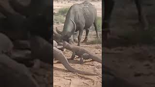 Komodo dragon eat alive buffalo calf#shorts/#wildlife