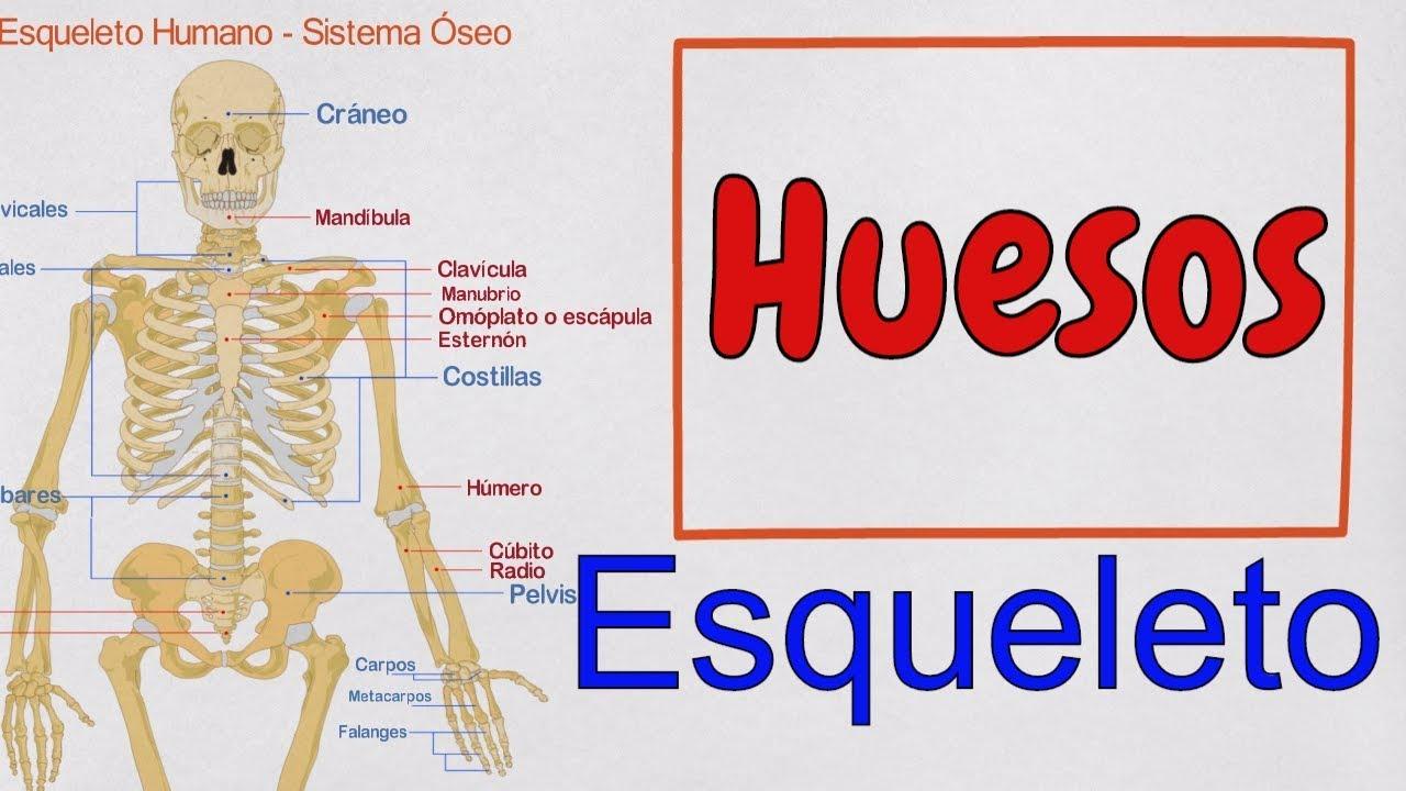 Los Huesos del Cuerpo Humano - Esqueleto Humano - Sistema Óseo - YouTube