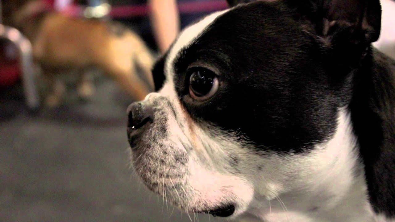 Boston Terrier Dog Rescue Inspires Foster Adoption A