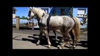 Attelage en grande arbalète à 5 chevaux arabo boulonnais