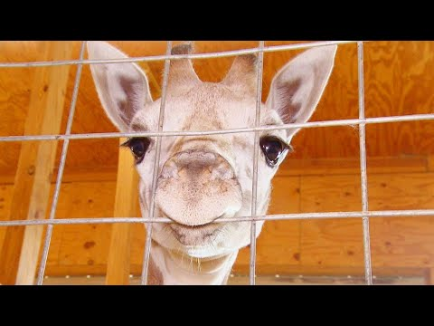 April the Giraffe's Calf, Tajiri, Is Moving to North Carolina