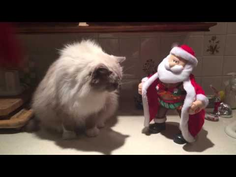 Watch What This Ragdoll Cat Thinks of Santa Flashing Him!  Ragdoll Cat Not Impressed with Santa Baby