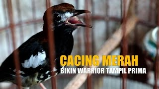 SUARA BURUNG : Cacing Merah Bikin Anis Kembang Warrior Jadi Gacor