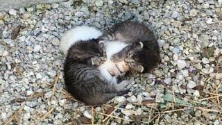 「ボクたちが必ず守る!」 震える妹猫を包み込む2匹の兄猫 <関連動画>...