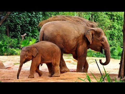 A paradise for Asian elephants: LIVE from Wild Elephants Valley in China's Xishuangbanna