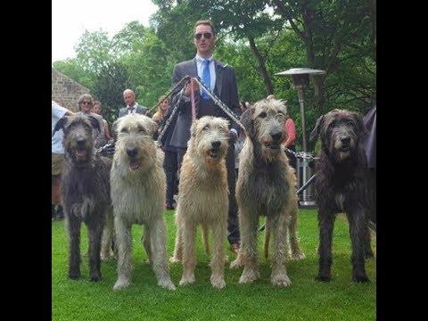 Irish wolfhound - giống chó cực khủng | Thú Cưng Yêu