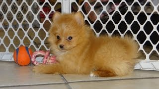 Pomeranian Puppies, For, Sale, In El, Paso, Texas, Tx, Temple, County, La, Porte, Socorro