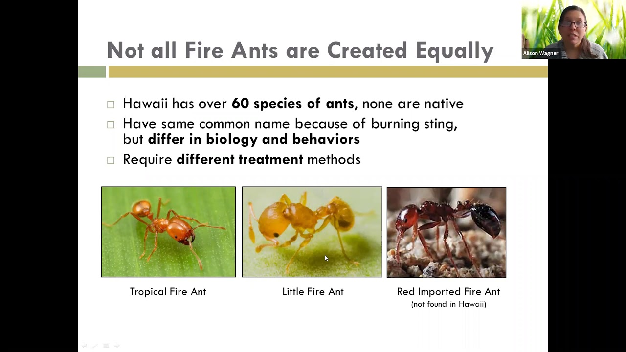 Learn about Little Fire Ants