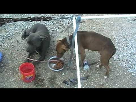 Abandonded Pitt Bulls in Memphis Tn