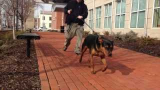 Rottweiler, 9 Months Old, Bruce Before Heeling Lesson