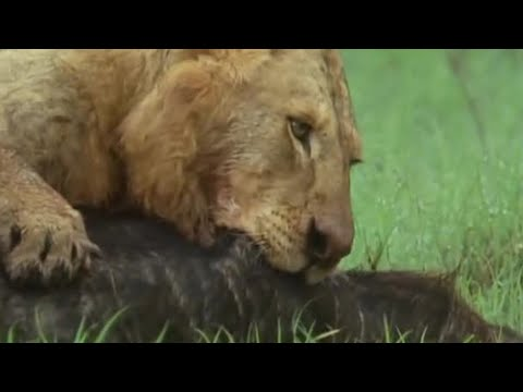 Lion Pride Vs. Buffalo - Attenborough: Trials of Life - BBC