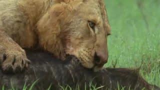 Lion Pride VS Buffalo | BBC Earth