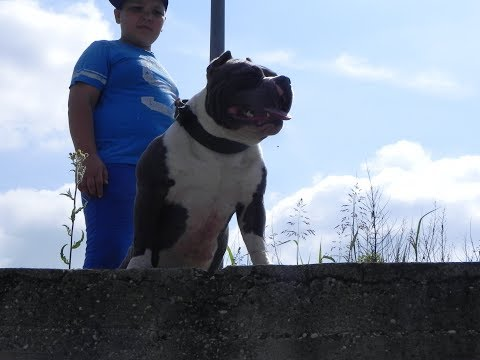 2 funniest boxer and american bully video