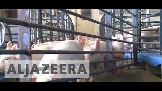 US investigates hog farm pollution complaints in North Carolina