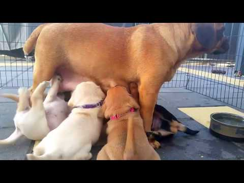 Pugalier Puppy Feeding Time - Jack & Mango's 3rd litter - 4 weeks old