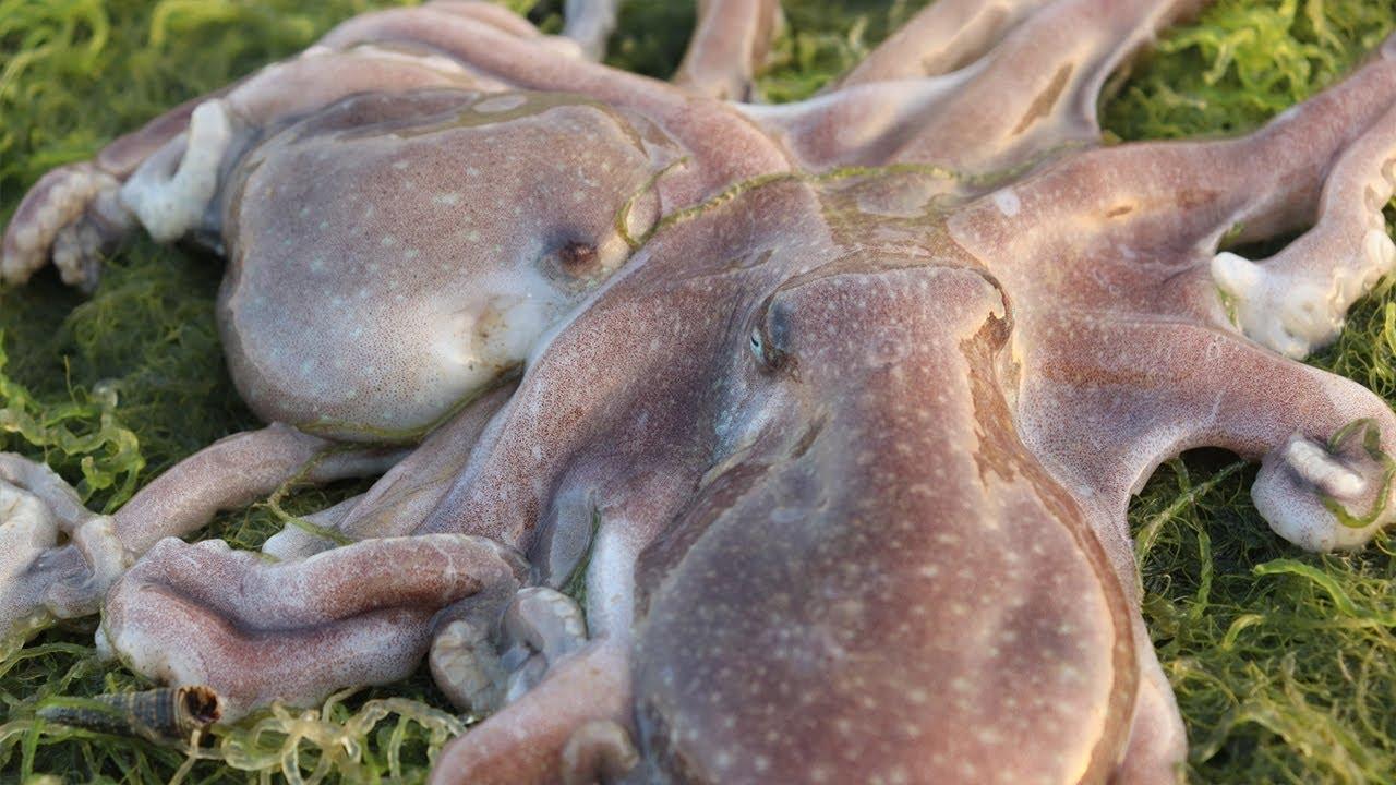 表妹誤入八爪魚窩,一隻一隻八爪魚抓的真過癮,還有一條無敵大海鰻! 【海村小梅】