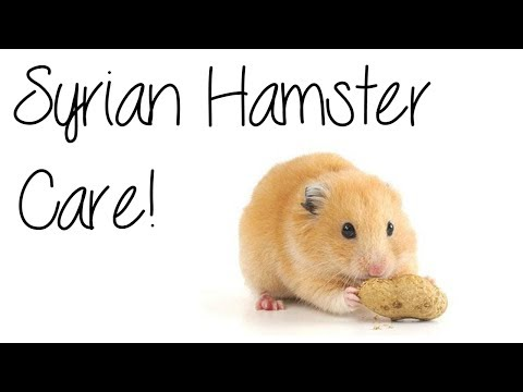 SYRIAN HAMSTER CARE - YouTube
