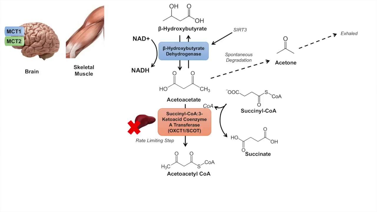 ketone body metabolism ketolysis transport absorption and