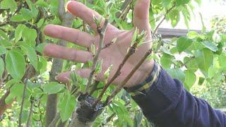 طريقة وموعد تطعيم (تلقيم،تركيب) جميع الأشجار