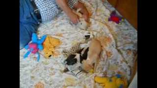 Chihuahua Puppies Oregon  Http://www.chihuahua-puppies.net