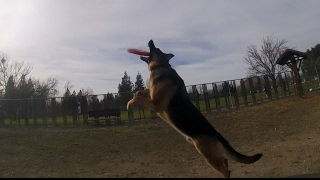 German Shepherd playing fetch at the dog park