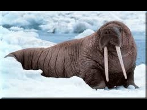 A walrus and seal is killed by Jan Guillou , a swedish trophy hunter - wildlifefilm.com