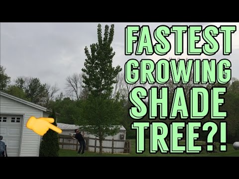 Fastest Growing Shade Tree in America !? Hybrid Poplar Review 3 Years after planting