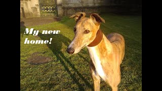 Rescue Greyhound checks out her new home