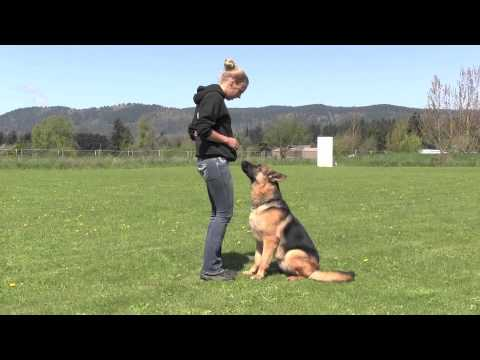 Trained IPO Versatility German Shepherd Obedience