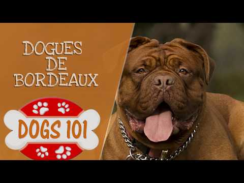 Dogs 101  Dogues De Bordeaux  Top Dog Facts About the Dogues De Bordeaux