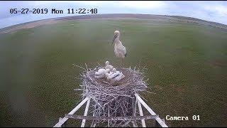 Папа может: аист начал кормить птенцов, но передумал