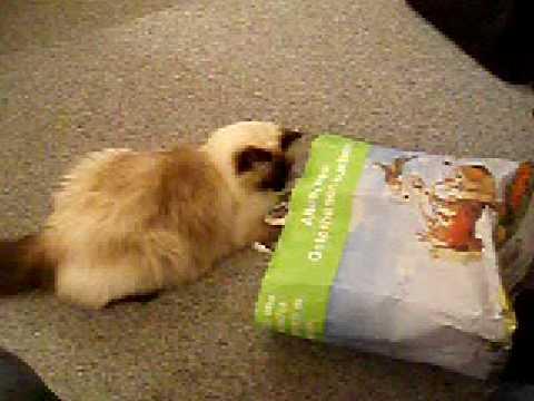 Stupid Cat (Ragdoll)