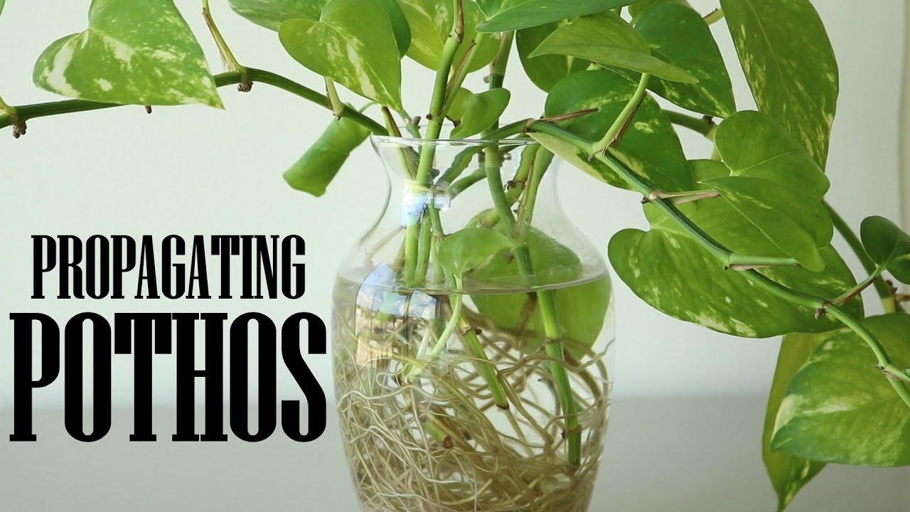 Golden Pothos  Live Plant 2 Rooted Cuttings Easy To Grow
