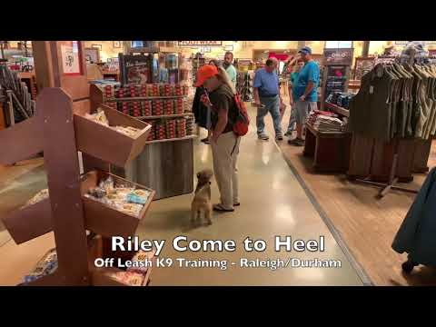 "8mo Lakeland Terrier ""Riley"" Before and After - Small Dog Training Raleigh Durham"