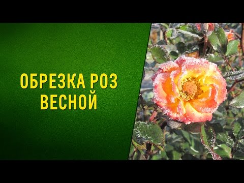 Обрезка роз весной. Видео
