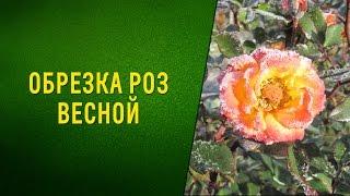 видео Правильная обрезка роз весной для начинающих