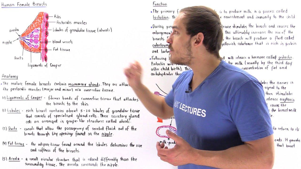Slide show mayo breast anatomy