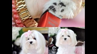 Maltese Grooming:  Trimming The Paw Hair ~ Bravura Bravmini Tutorial  - Tear Stain Cleaning - Gopro