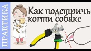 Как подстричь когти собаке. Советы ветеринара(Очередной практический пример- как подстричь когти собаке?! #Ветеринар Полина Платонова покажет на своей..., 2016-05-06T16:07:29.000Z)
