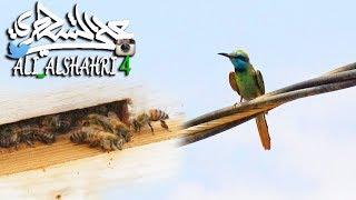 ما الذي يحدث لـ #النحل إذا شاهد طائر #الوروار ؟؟